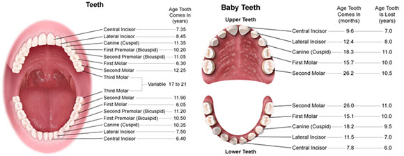 Chart of childrens teeth